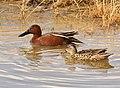 Cinnamon teal on Seedskadee National Wildlife Refuge (27962609908).jpg