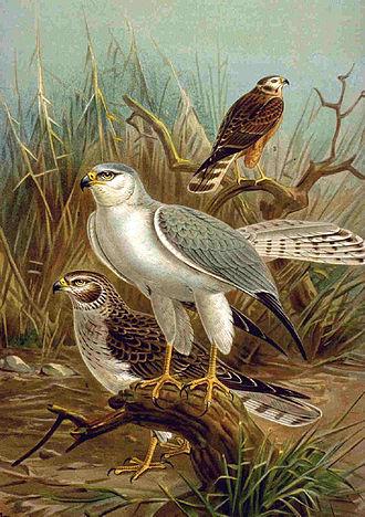 Hadejia-Nguru wetlands - pallid harrier illustrated by Johann Friedrich Naumann