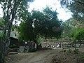 Cirerer de santa Llúcia del parc de l'Oreneta P1510578.jpg