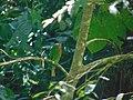 Cirik-cirik kumbang.jpg