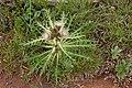 Cirsium drummondii - Flickr - aspidoscelis (4).jpg