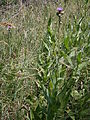 Cirsium heterophyllum 001.JPG