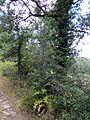 Cirsium scabrum 2 Gavoi 950m 20072014.jpg