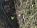 Citroenvlinder - common brimstone - Gonepteryx rhamni (46959655364).jpg