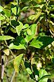 Citrus × bergamia in Jardin des Plantes de Toulouse 02.jpg