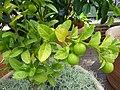 Citrus aurantiifolia 'Mexican' - Key lime.jpg