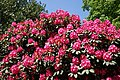 City of London Cemetery - deep pink rhododendron.jpg