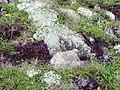 Cladonia sur lande.JPG