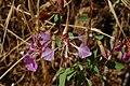 Clarkia unguiculata-1.jpg