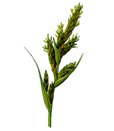 Cleaned-Part of Carex arenaria.PNG