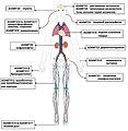 Clinical findings and distribution of affected organs in individuals with Mendelian disorders caused by pathogenic mutations in different ADAMTS family genes RUSSIAN.jpg