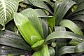 Clivia miniata 19zz.jpg