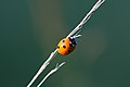 Coccinella septempunctata - Hohe Wand.jpg