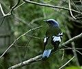 Cochoa viridis 2.jpg