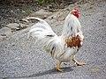 Cockerel at Chicksgrove - geograph.org.uk - 887190.jpg