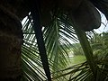 Coconut tree DSCN0336.jpg