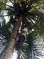 Coconut tree climbing DSCN0361.jpg