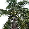 Coconuts on a palm tree.jpg