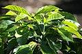 Coffea arabica 43zz.jpg