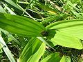 Colchicum cilicicum leaves & fruit.jpg