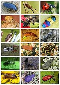 Coleoptera Diversity.jpg