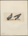 Columba carunculata - 1820-1860 - Print - Iconographia Zoologica - Special Collections University of Amsterdam - UBA01 IZ15600165.tif