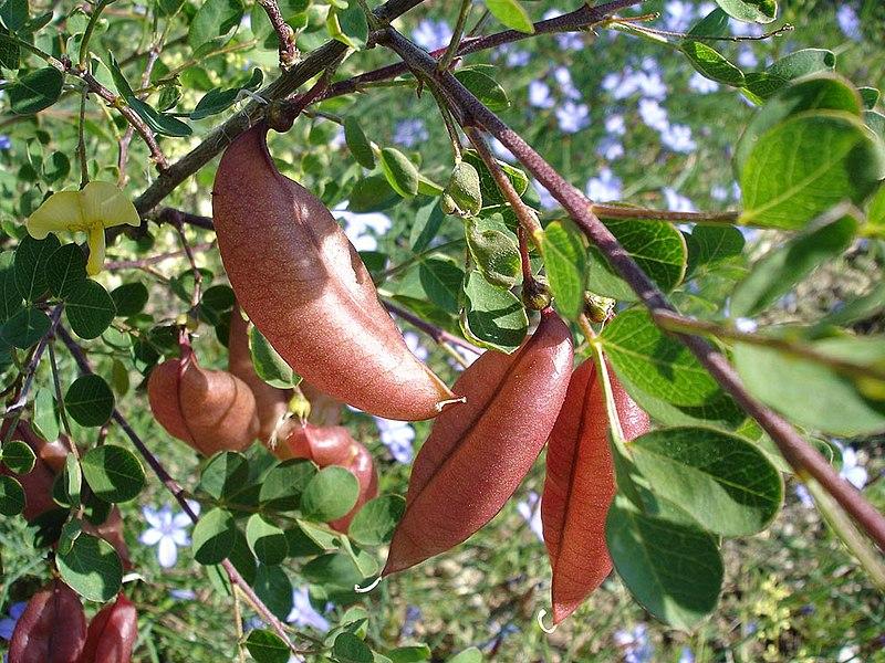 fruit du baguenaudier