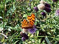 Comma butterfly on thistle - geograph.org.uk - 1411235.jpg