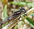 Common Bluet. Immature male. Enallagma cyathigerum. - Flickr - gailhampshire.jpg