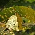 Common Emigrant (Catopsilia pomona) in Kolkata W IMG 3667.jpg