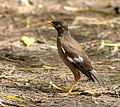 Common Myna (Immature) IMG 5487.jpg
