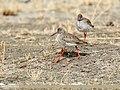 Common Redshank (Tringa totanus) (34998397526).jpg