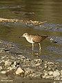 Common Sandpiper (Actitis hypoleucos) (33323409355).jpg