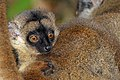 Common brown lemur (Eulemur fulvus) juvenile head.jpg