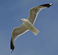 Common gull (9393607125).jpg