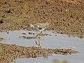 Common redshank-kannur kattampally - 1.jpg