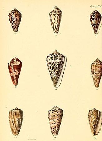 Conchologia iconica, or, Illustrations of the shells of molluscous animals (Conus, Plate 5) (6029518529).jpg