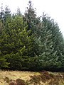 Conifers in Griffin Forest - geograph.org.uk - 312691.jpg