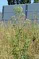 Conium maculatum ruderal.jpg