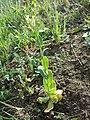 Conringia orientalis sl23.jpg