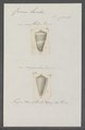 Conus lividus - - Print - Iconographia Zoologica - Special Collections University of Amsterdam - UBAINV0274 086 09 0011.tif