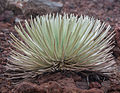 Cool looking plant at Haleakala Crater (8017322284).jpg