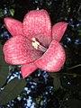 Copihue flor silvestre de chile( foto tomada en el bosque del monumento natural cerró Ñielol.jpg