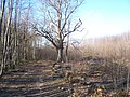 Coppicing in Shipbourne Forest - geograph.org.uk - 1200049.jpg