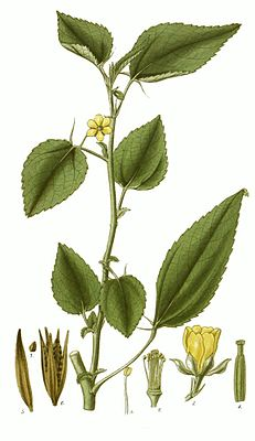 Corchorus olitorius, Illustration