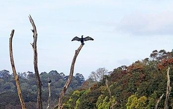 Cormorant spreading its wings.jpg