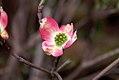 Cornus florida rubra 2zz.jpg