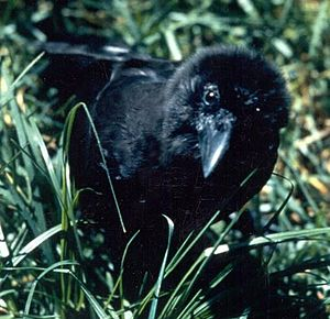 Hawaiian crow - The Hawaiian crow faces an ample number of threats in the wild.