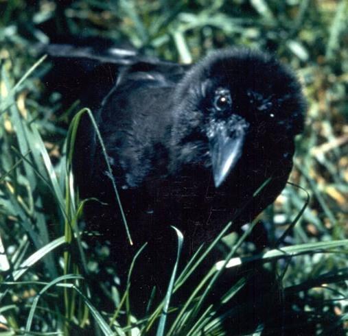 Corvus hawaiiensis in grass