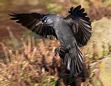 Jackdaw with spread wings and tail feathers